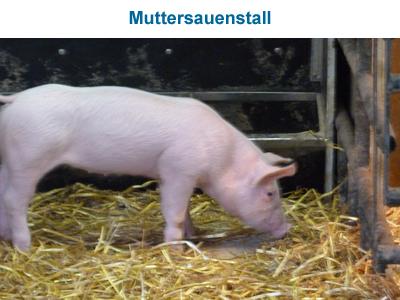 Muttersauenstall