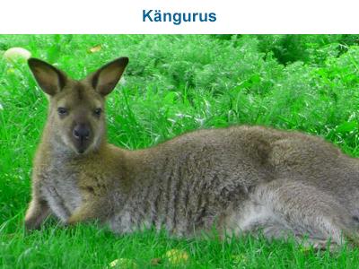 Kängurus